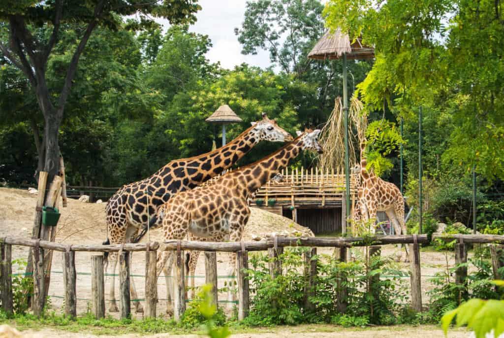 giraffer i budapest zoologiske og botaniske have