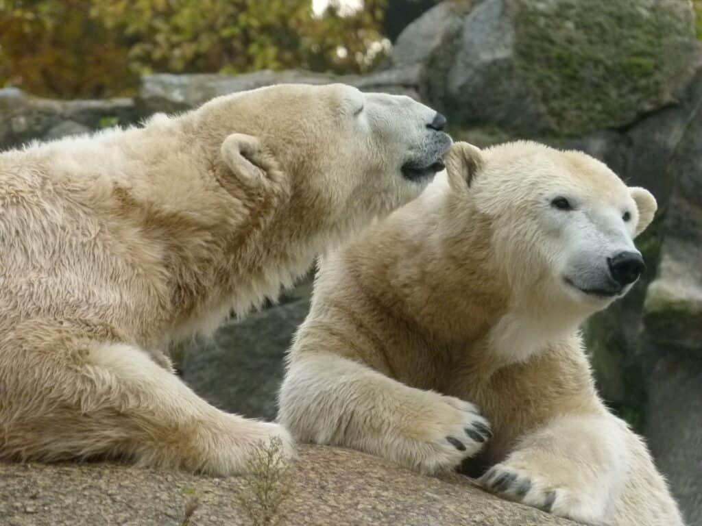 berlins zoologiske have er berømt for sine isbjørne